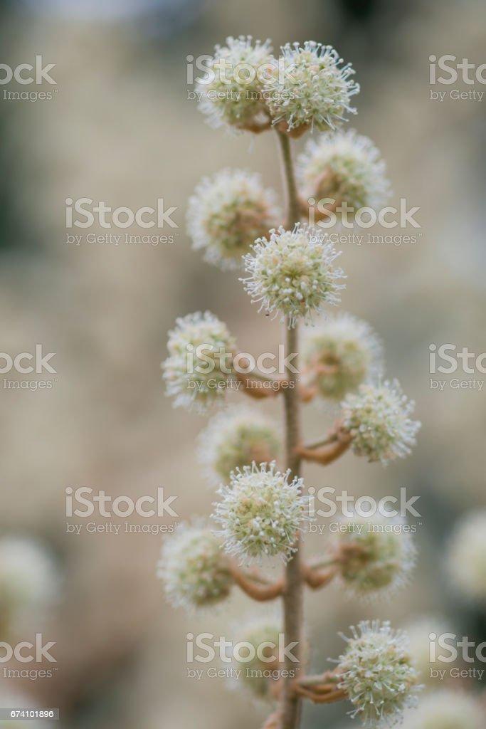 Close up of  Tetrapanax papyriferus flowers royalty-free stock photo