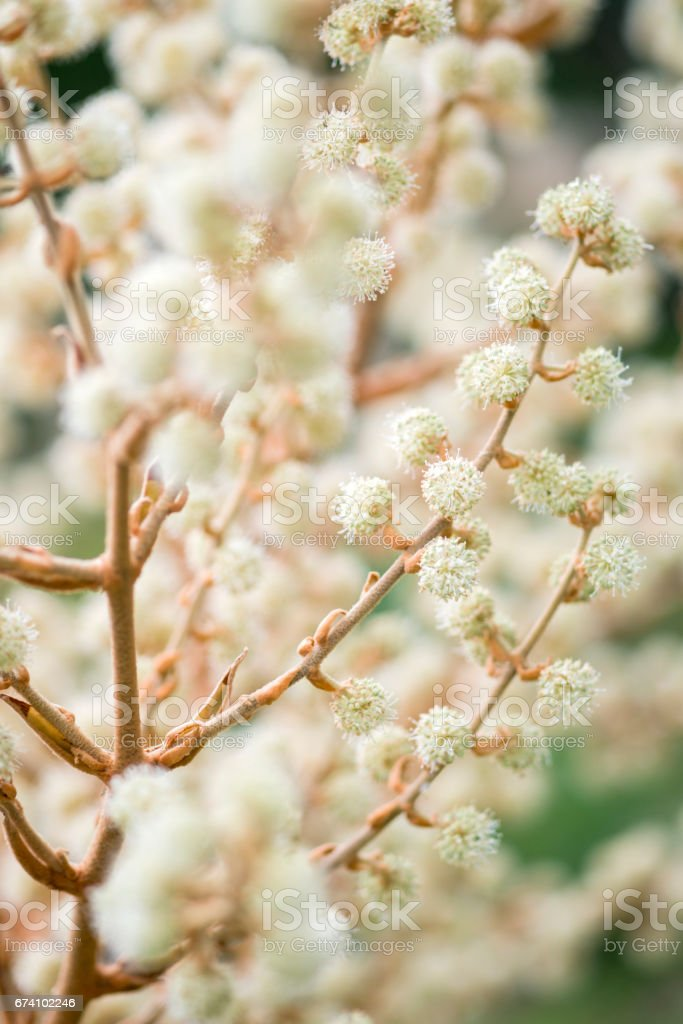 Close up of  Tetrapanax papyriferus flowers royalty-free stock photo