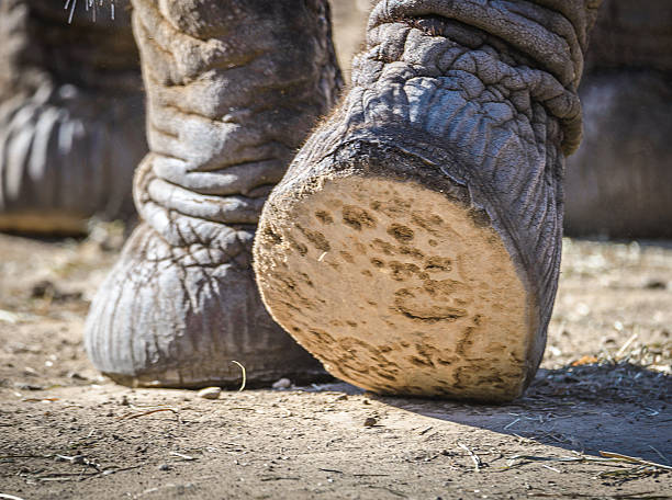 close up of the bottom of an elephant's foot - gliedmaßen stock-fotos und bilder
