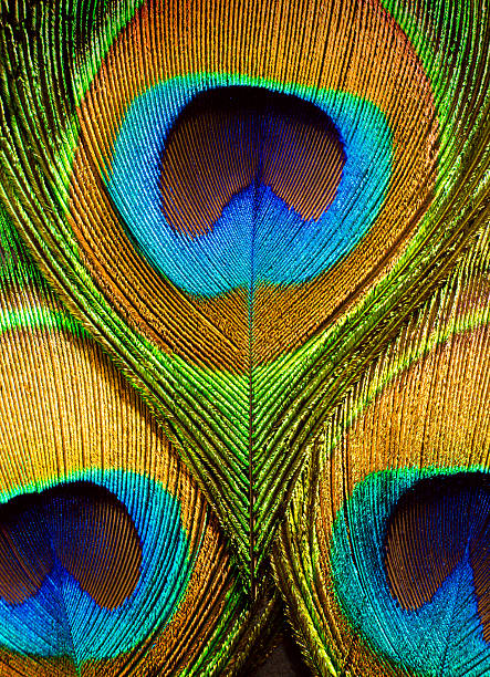 Close up of the eye on peacock feathers Colorful peacock feathers closeup. peacock feather stock pictures, royalty-free photos & images
