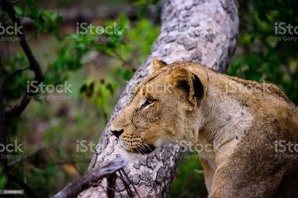 close up of the face of a Lioness staring at prey stock photo