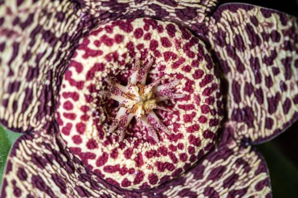 Nahaufnahme der Blume der Sukkulenz von Stapelia pulchellus – Foto