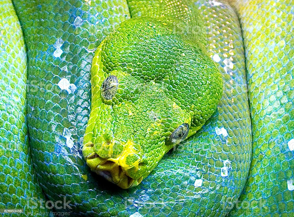 Close up of the head of a coiled green snake stock photo