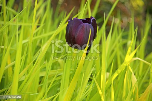 Close up of the head of a dark red or burgandy or purple tulip flower in bloom against a green grass background, in the public garden, Stavanger, Norway.