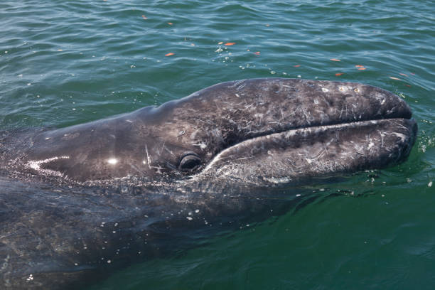 Close up of the head of a Gray/Grey Whale, Eschrichtius robustus