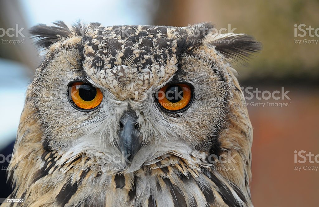 Close up of the head of an Eagle Owl stock photo