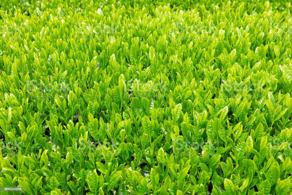 close up of the Japanese tea leaves zbiór zdjęć royalty-free