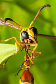 Close up of the Paper wasp on the green leaf in the deep forrest. Selective focus of the Hornet is looking for food on the leaves.