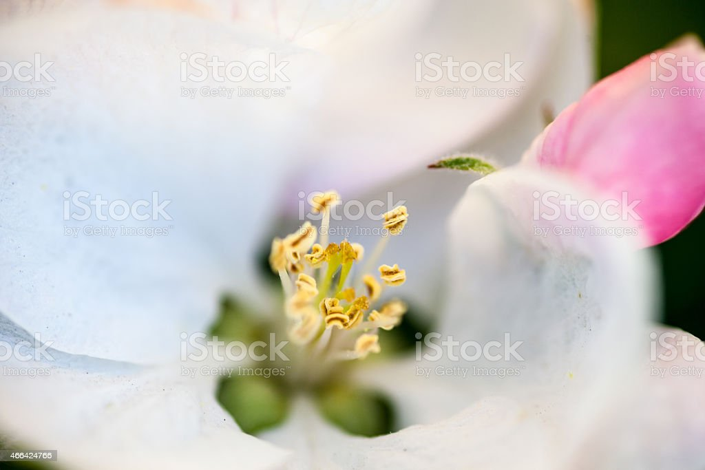Close up of the pear tree flowers stock photo