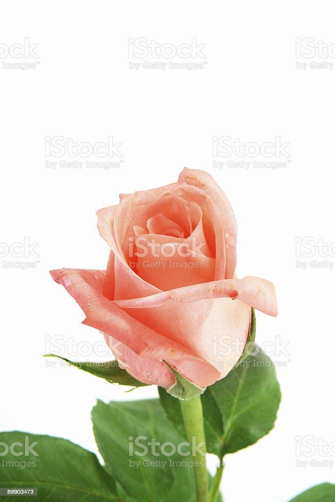 Крупным планом розовый Стоковые фото Стоковая фотография