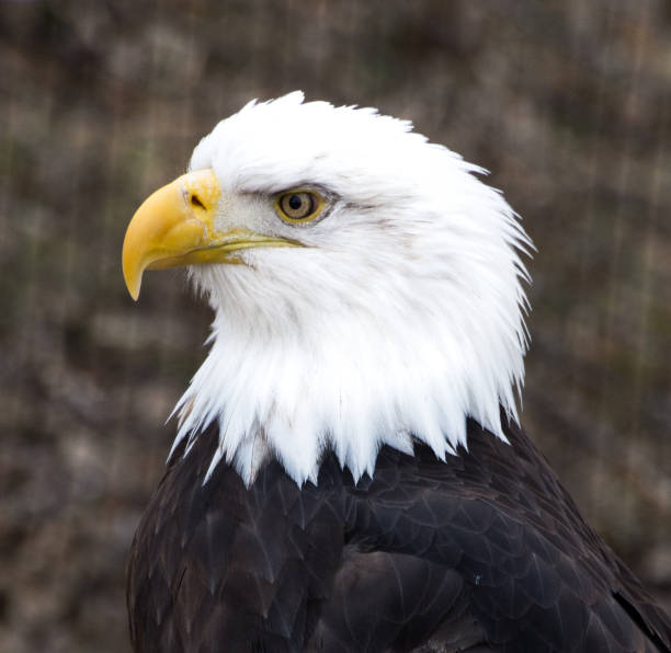 Close Up of the Profile of an Adult Bald Eagle's Head and Upper Body stock photo