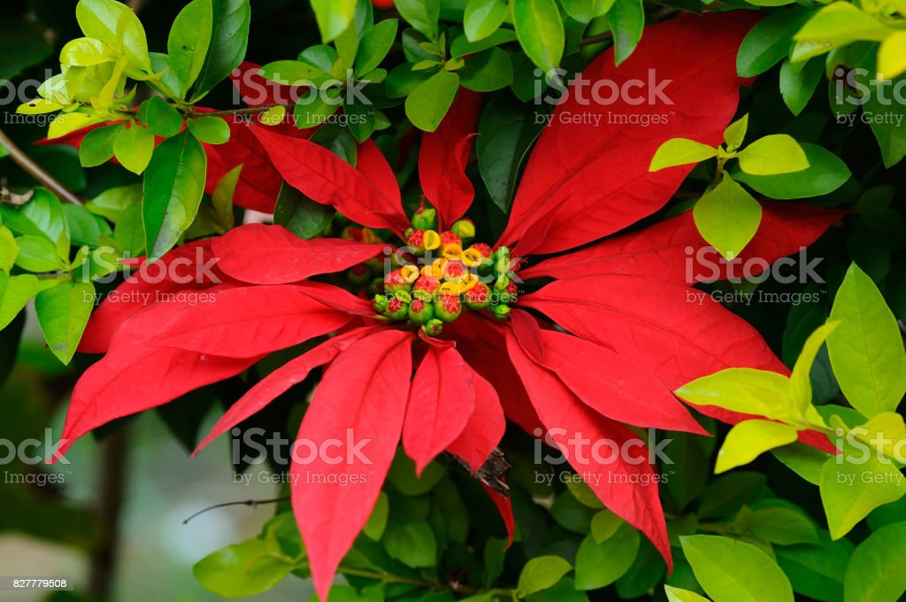 Close up of the red flower of poinsettia, Euphorbia pulcherrima, in the garden stock photo