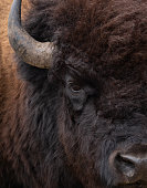 Extreme close up of the left eye, base of the left horn, nose, and the thick fur of an American bison.