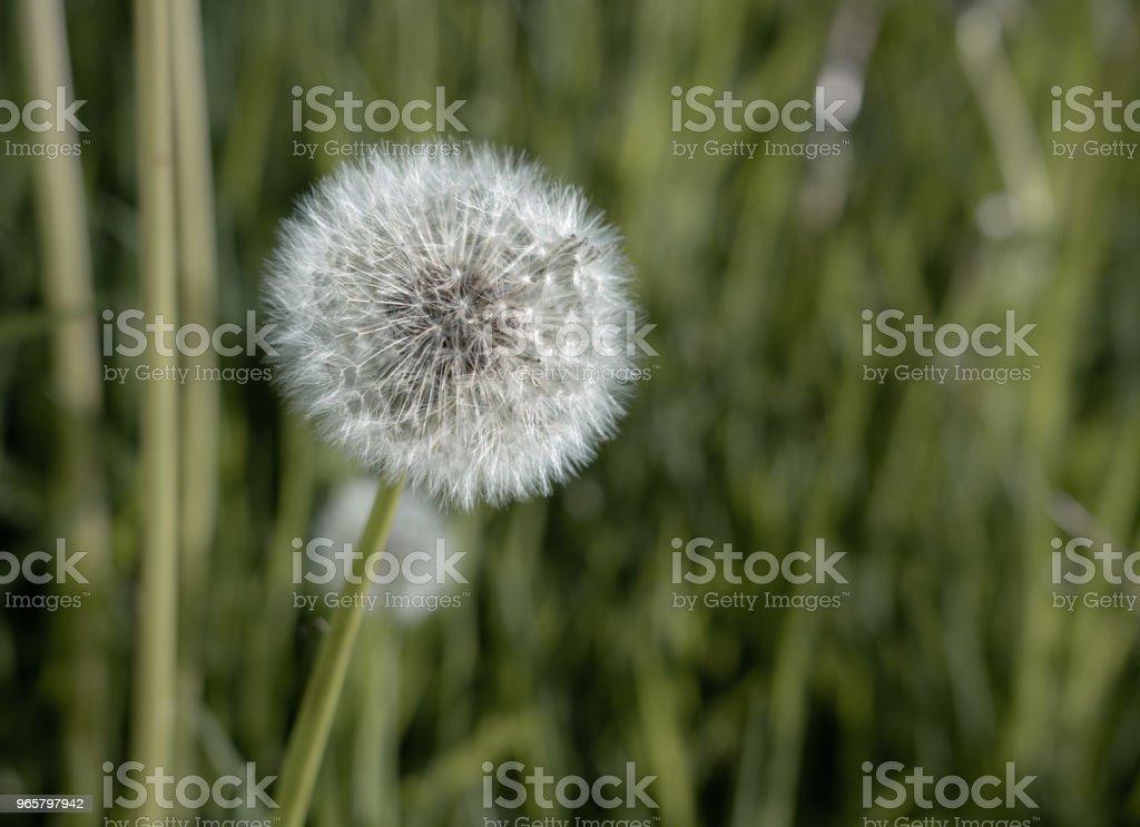 Close up van het hoofd van de zaad van paardebloem bloem - Royalty-free Abstract Stockfoto