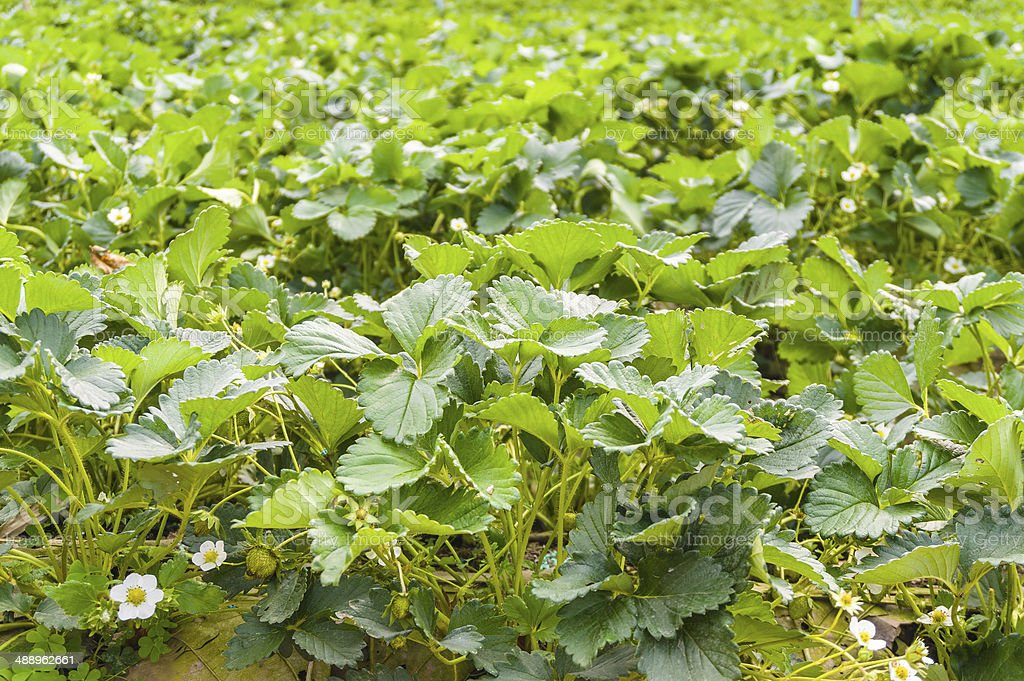 close up of the strawberry farm garden,background stock photo
