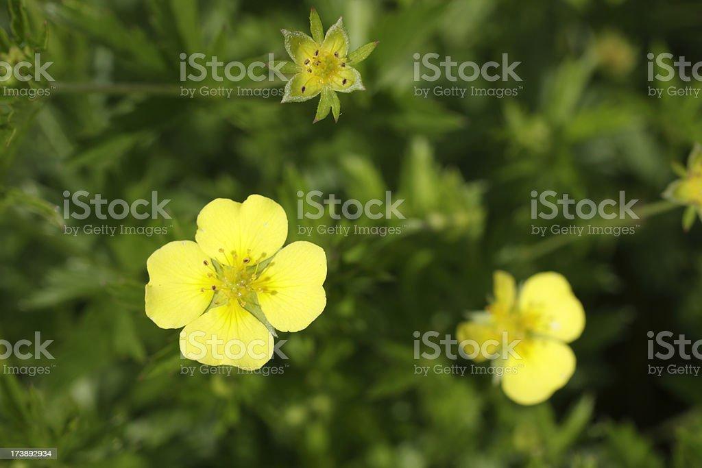 Fiore Giallo Quattro Petali.Fiore Giallo Tormentil Potentilla Erecta A Forma Di Cuore Petali