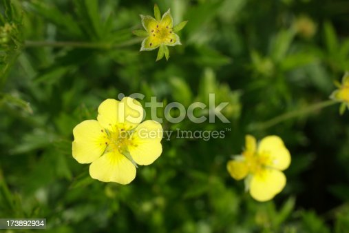 Yellow tormentil flower potentilla erecta heart shaped petals stock yellow tormentil flower potentilla erecta heart shaped petals stock photo more pictures of close up istock mightylinksfo