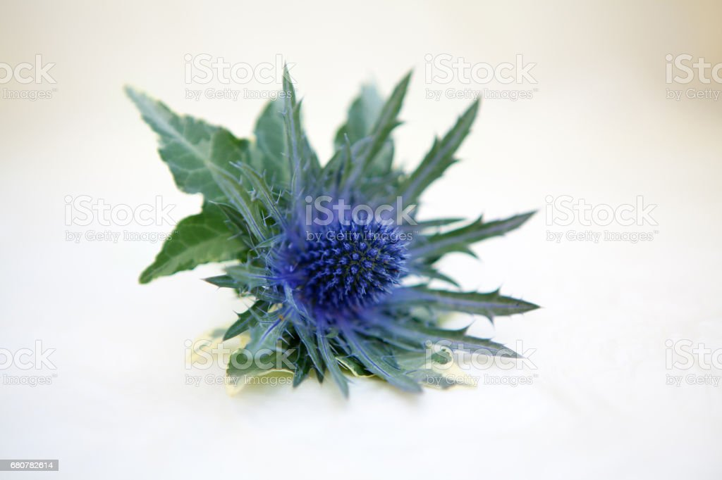 Close up of thistle stock photo