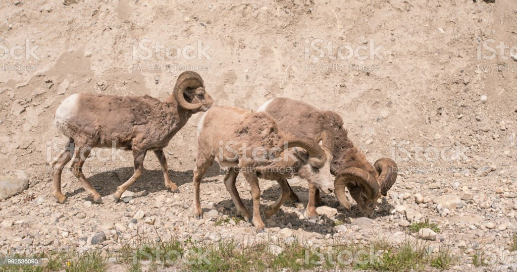 Close up of three big horned sheep stock photo