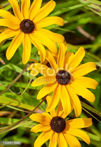 Close up of three black-eyed Susan, Rudbeckia hirta. Wisconsin, USA.