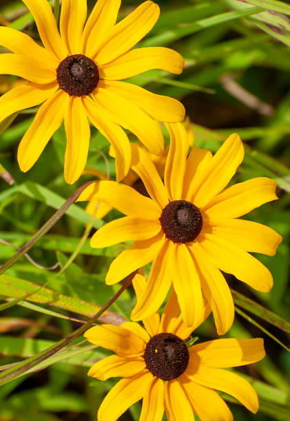 close up of three black-eyed Susan, Rudbeckia hirta stock photo
