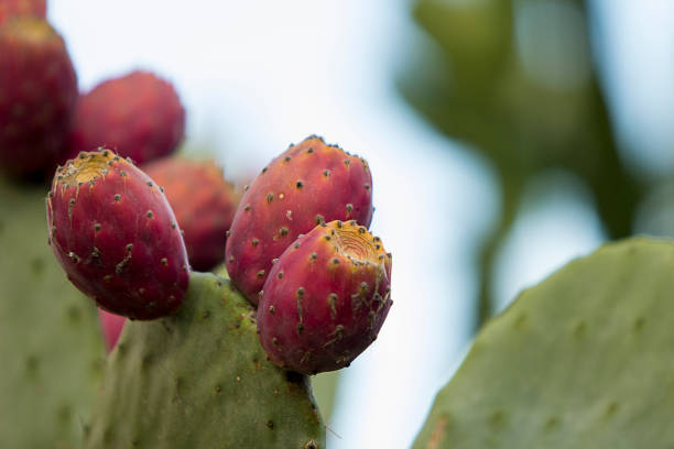 Close up of three indian figs on cactus, a.k.a. Opuntia humifusa, with copy space. A.k.a . Opuntia humifusa, Indian fig is native to the North America, but this one is grown in the Mediterranean coast at Turgutreis, Turkey. Rich with vitamin C and B, and a strong source of magnesium and potassium. Also provides a good amount of dietary fibers, iron, calcium and small amounts of protein and carbohydrates. Low calories and rich antioxidants, it is becoming a more and more attractive alternative source of nutrients everyday. They are also used as forage for livestock. carbohydrate biological molecule stock pictures, royalty-free photos & images