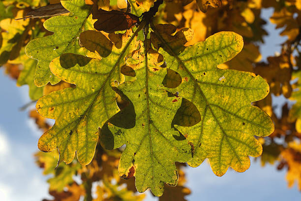 spray of oak leaves in autumn hanging from tree - whiteway stock photos and pictures