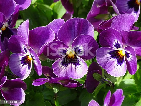 Three purple pansy flowers in close up.