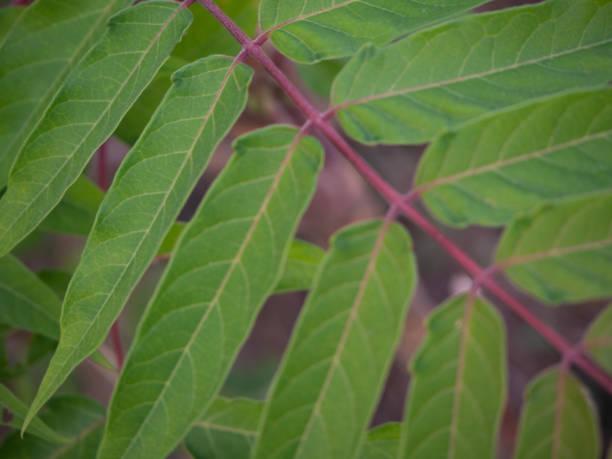 Nahaufnahme von Baum des Himmels branch – Foto