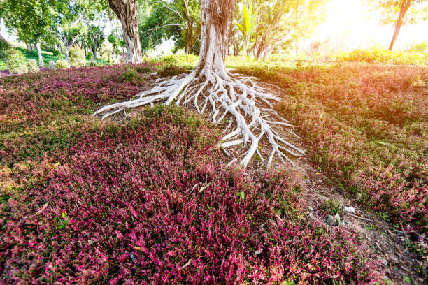 Close up of tree roots picture id1025752204?b=1&k=6&m=1025752204&s=612x612&w=0&h=o0wciksypo6tdsh8o9bkmr6qimupmfooi qqjklxmxo=
