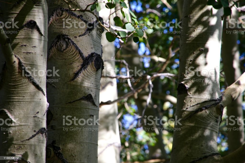Close Up of Tree Trunks stock photo
