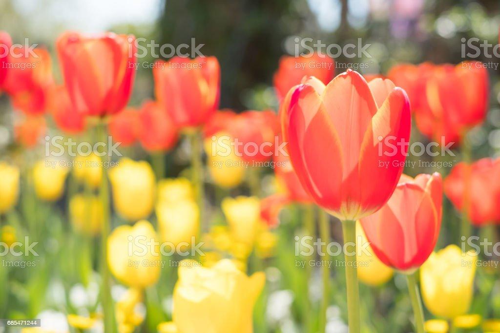 close up of tulip foto de stock royalty-free