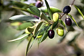 istock Close up of Tuscan Olive branch hanging from tree 177231167