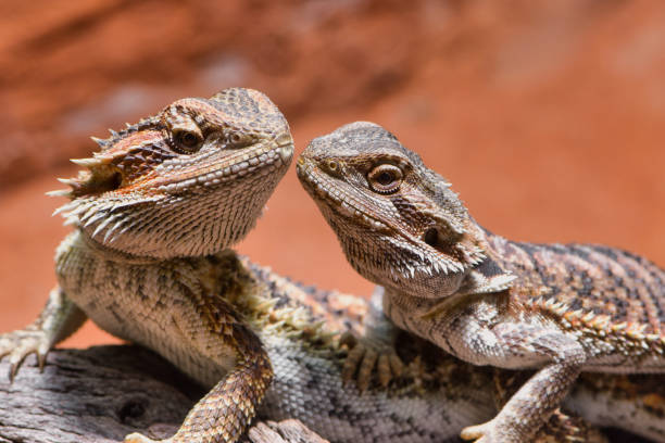close up of two bearded dragons looking to each other stock photo