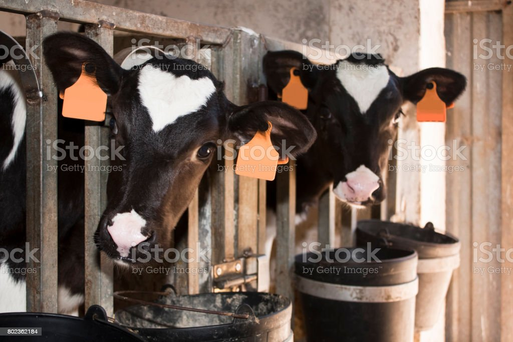 Close up of two beautiful Holstein young cows eating. stock photo