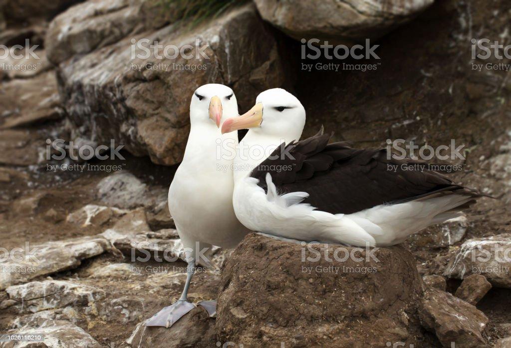 Nahaufnahme von zwei Black-browed Albatrosse während einer Brutzeit – Foto