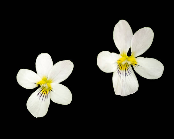 Close up of two Canadian white violets on black stock photo