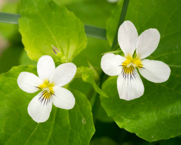 Close up of two Canadian white violets stock photo
