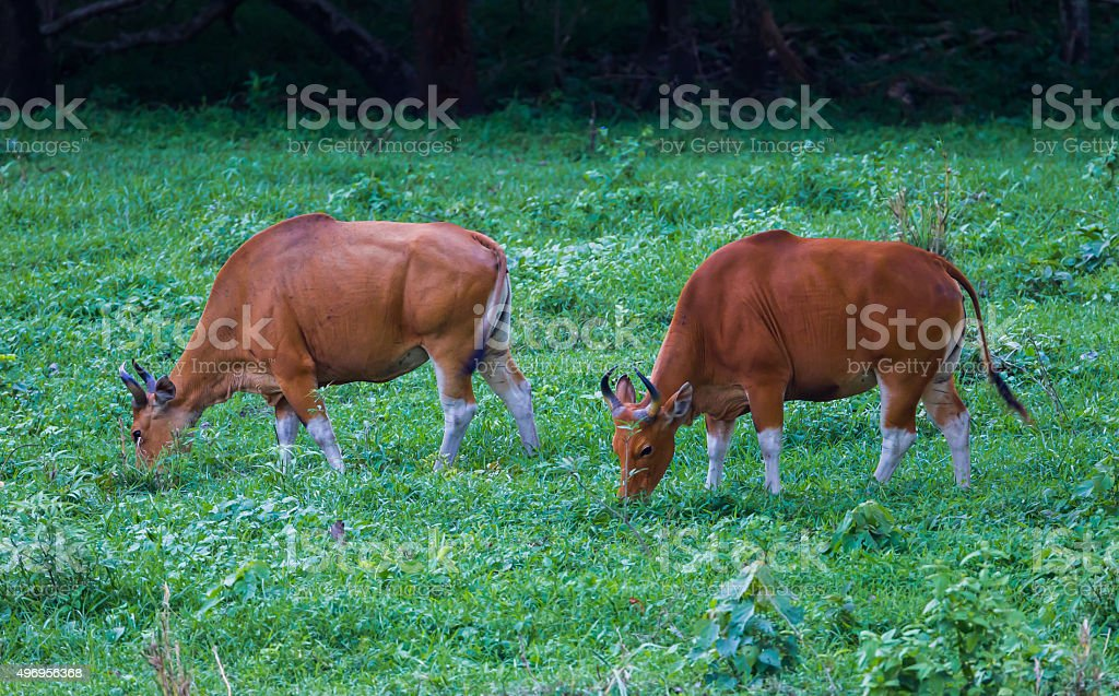 Close up of two female Banteng stock photo