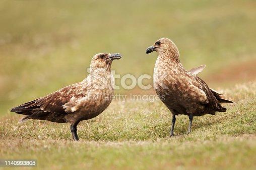 Close up of two Great skuas (Stercorarius skua) standing in grass, Noss island, Scotland.