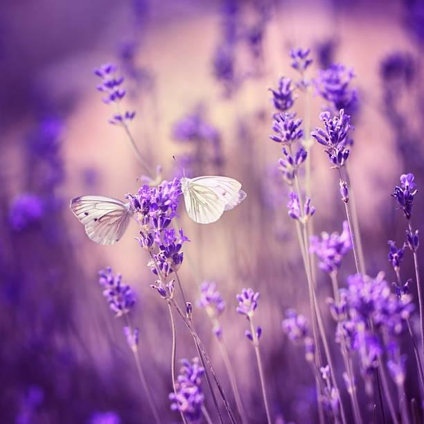 Close up of two moths on a lavender flower picture id125144577?b=1&k=6&m=125144577&s=612x612&w=0&h=xuygtyf81wggug3m0xnwhudiabk3n7up8kmirzqlt08=