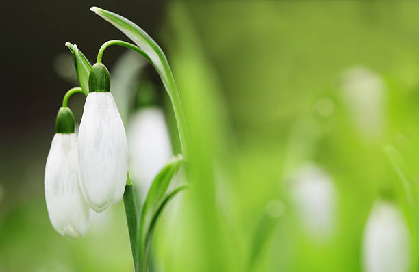close up of two snowdrops still on stem - snowdrops stock photos and pictures