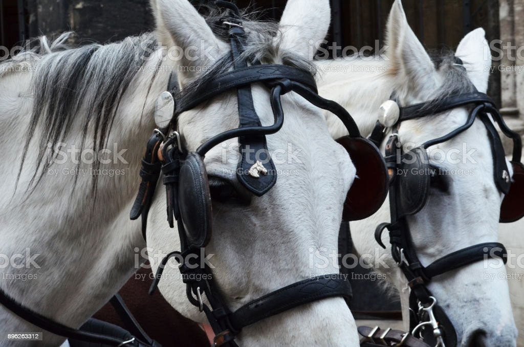 Close up of two white horses heads pulling a cart with head harness and blinkers on eyes stock photo
