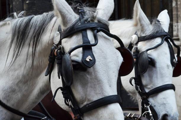 nahaufnahme von zwei weiße pferde köpfe ziehen einen karren kopfgeschirr mit scheuklappen auf den augen - scheuklappe stock-fotos und bilder
