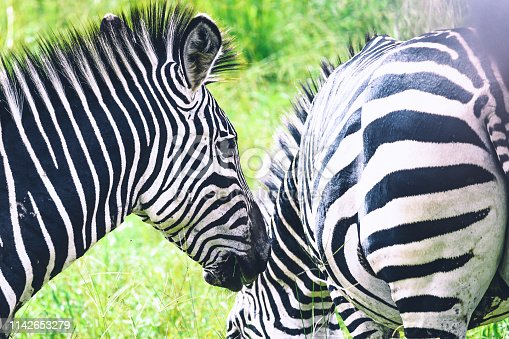 close up of two zebras in the grassland of south Luangwa national park
