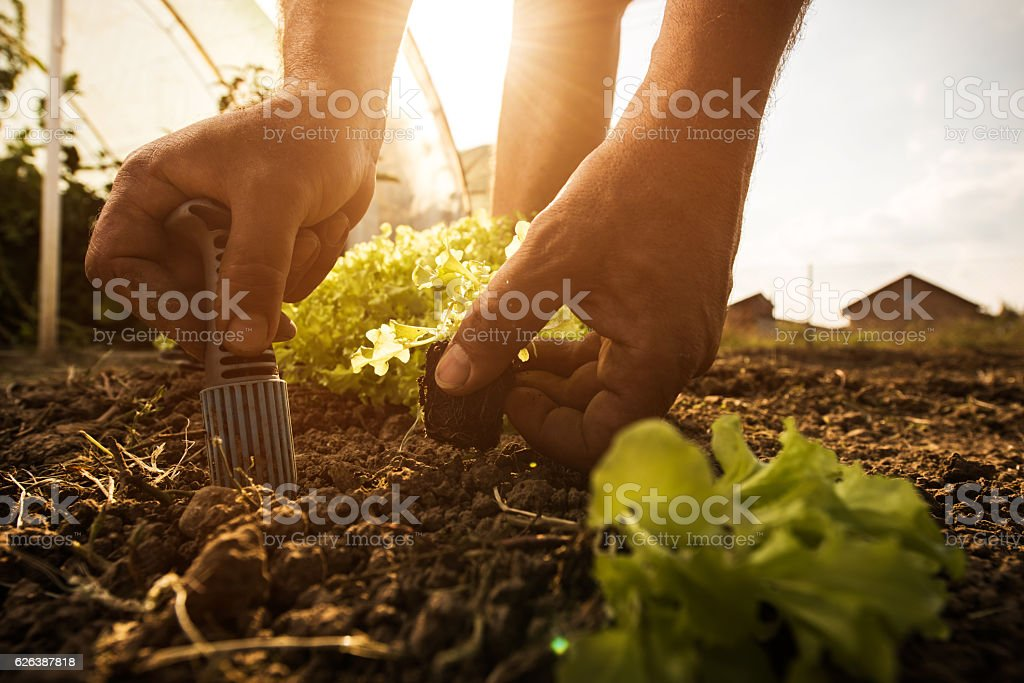 Close up of unrecognizable farmer seeding lettuce on a field. stock photo