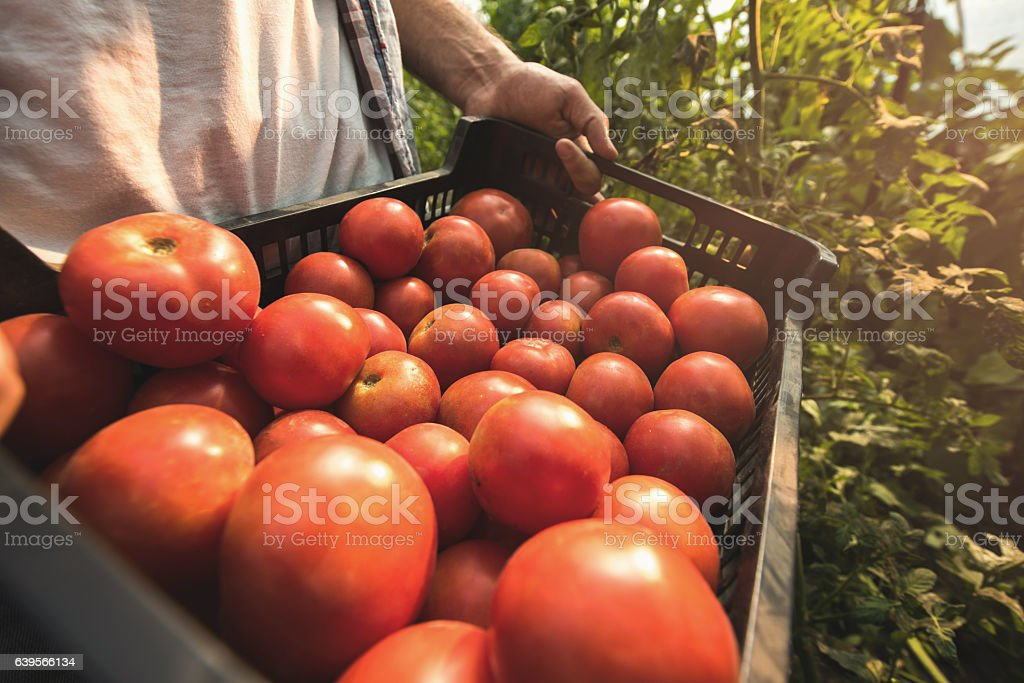 Close up of unrecognizable person holding basket of tomatoes. stock photo