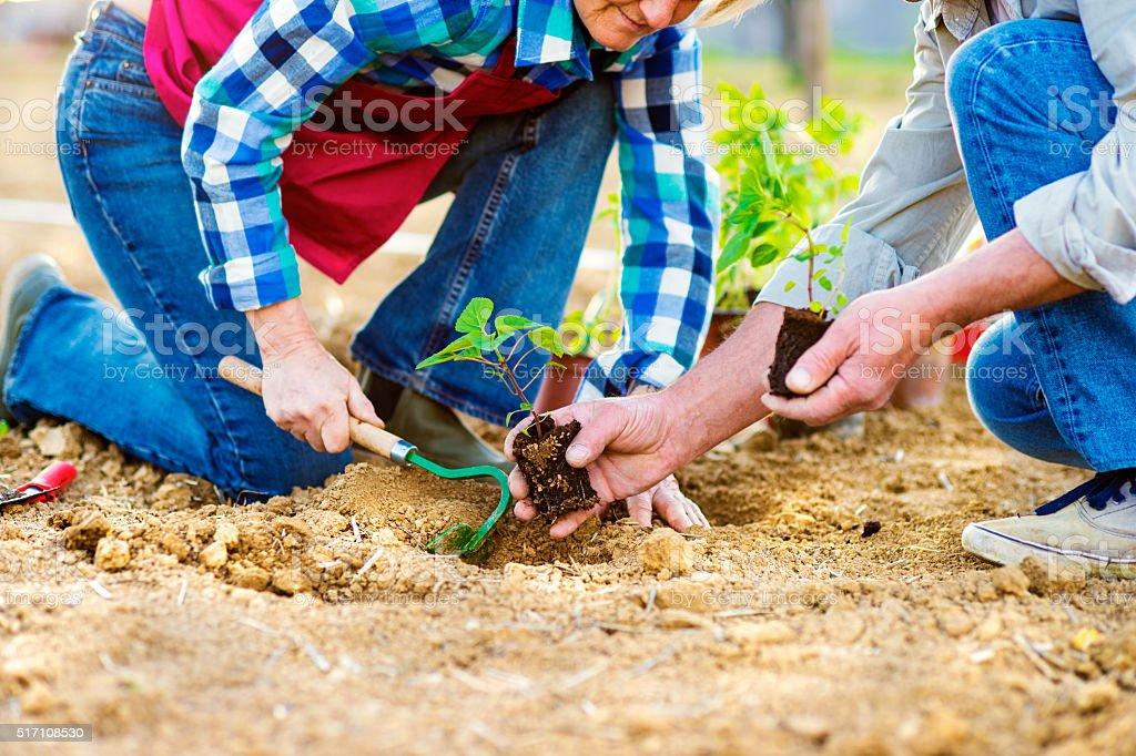 Close up of unrecognizable senior couple planting little seedlin