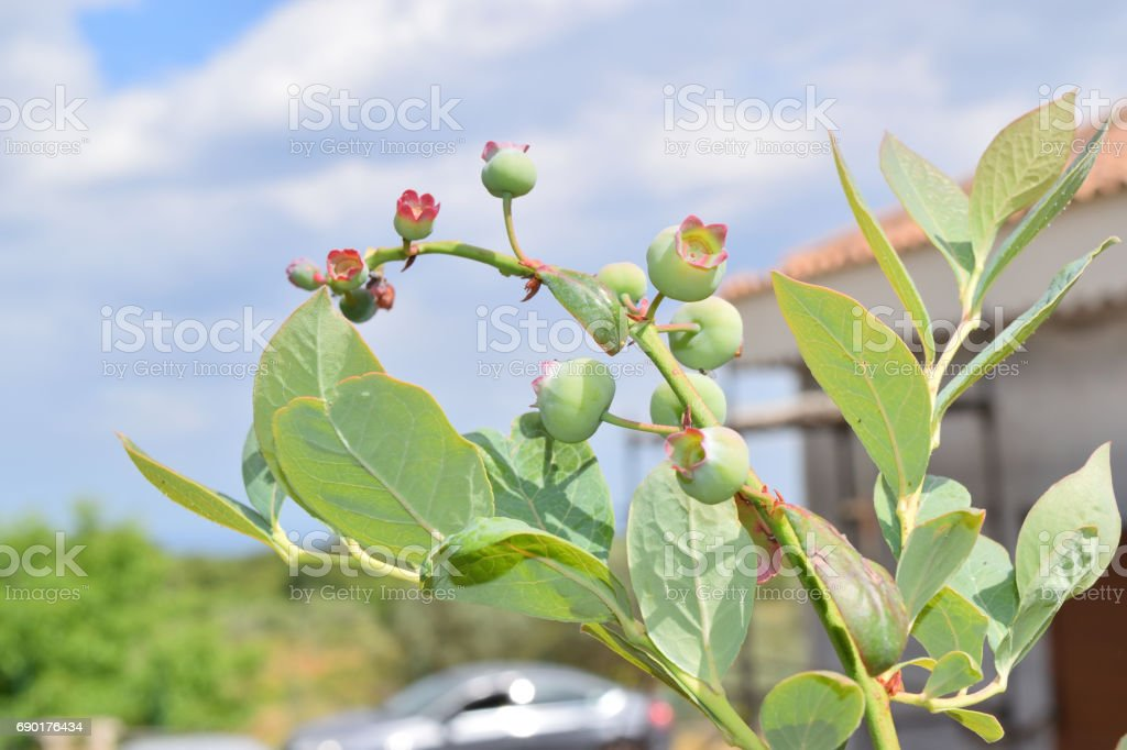 Close up of unripe blueberries on the plant stock photo