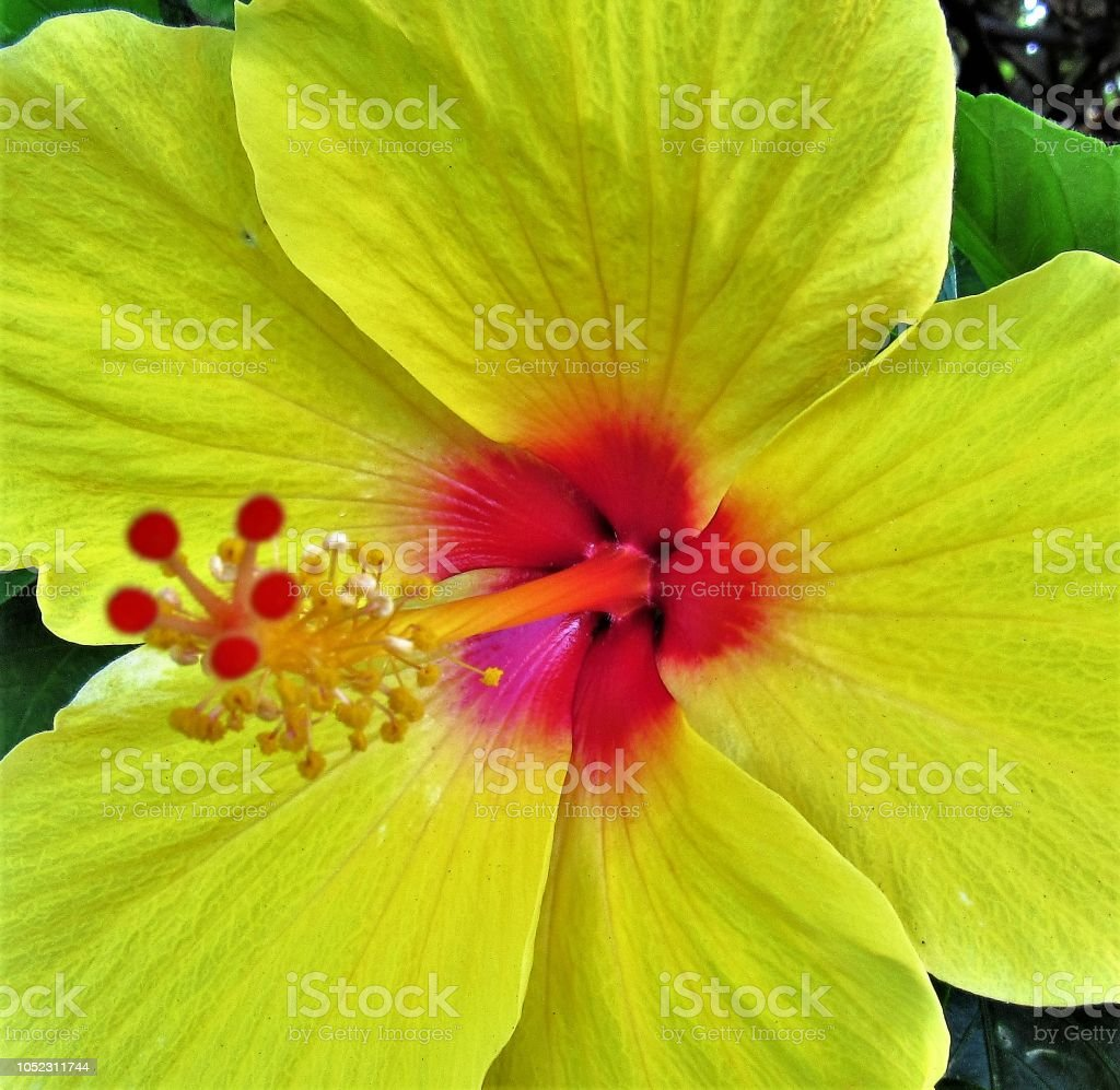 Close Up Of Various Tropical Flowers Anthirum Plumeria Hibiscus Protea Lantana Ginger Orchid Lily Gardenia And Wedilia Stock Photo More Pictures Of